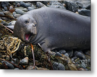 Elephant Seal Of Ano Nuevo State Reserve Metal Print by Priscilla Burgers