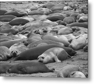 Elephant Seal Sea Metal Print by Gwendolyn Barnhart