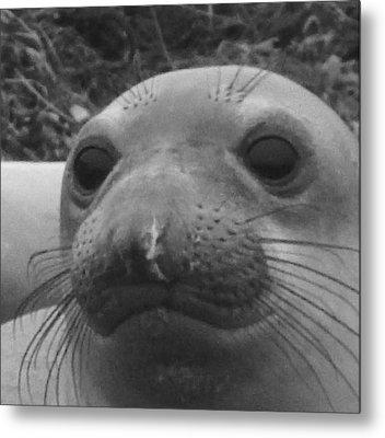 Elephant Seal Smirk Metal Print by Gwendolyn Barnhart
