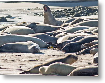Elephant Seals At Ano Nuevo State Park California Metal Print by Natural Focal Point Photography