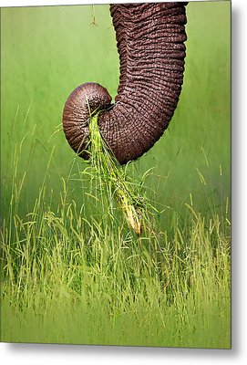 Elephant Trunk Pulling Grass Metal Print by Johan Swanepoel