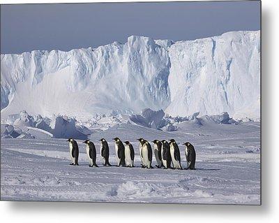Emperor Penguins Walking Antarctica Metal Print by Frederique Olivier