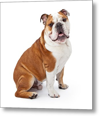English Bulldog Sitting  Metal Print by Susan Schmitz
