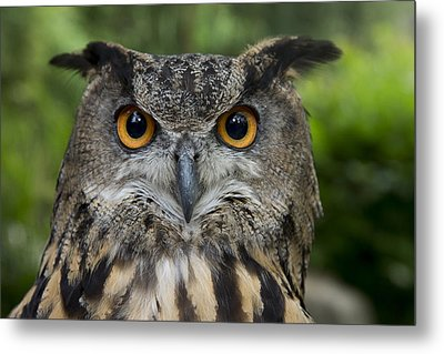 Eurasian Eagle-owl Metal Print by San Diego Zoo