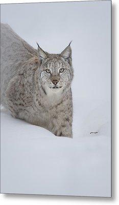 Eurasian Lynx Metal Print by Andy Astbury