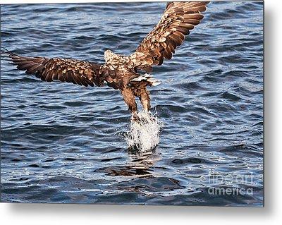 European Fishing Sea Eagle 2 Metal Print by Heiko Koehrer-Wagner