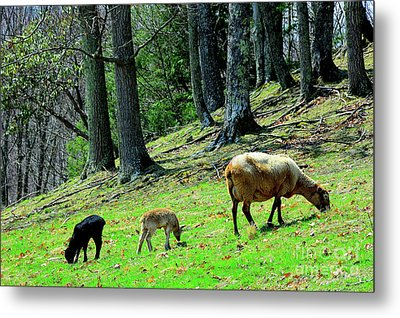 Ewe And Spring Lambs Grazing Metal Print by Thomas R Fletcher