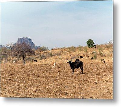 Extensive Cow Farming On Corn Field Metal Print by Daniel Sambraus