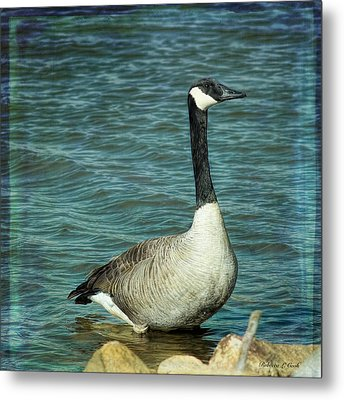 Eye To Eye Canada Goose Metal Print by Bellesouth Studio
