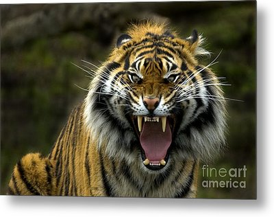 Eyes Of The Tiger Metal Print by Mike  Dawson