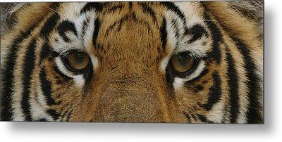 Eyes Of The Tiger Metal Print by Sandy Keeton