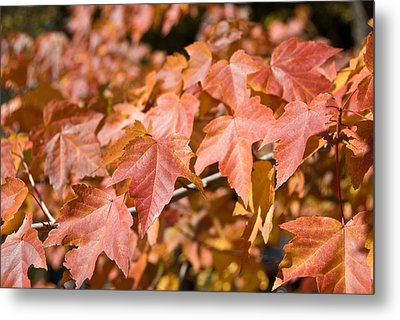 Fall Colors Metal Print by Shane Kelly