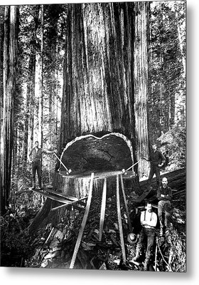 Falling A Giant Sequoia C. 1890 Metal Print by Daniel Hagerman