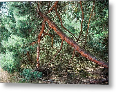 Falling Pine Tree In Veluwe National Park. Netherlands. Metal Print by Jenny Rainbow