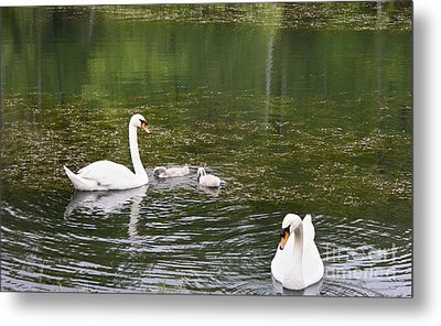 Family Of Swans Metal Print by Teresa Mucha