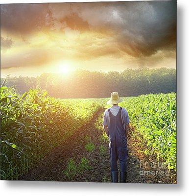 Farmer Walking In Corn Fields At Sunset Metal Print by Sandra Cunningham