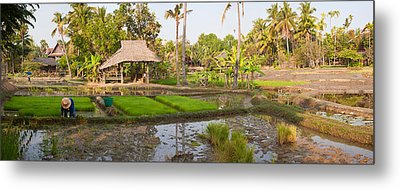 Farmer Working In A Rice Field, Chiang Metal Print by Panoramic Images