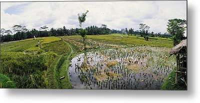 Farmers Working In A Rice Field, Bali Metal Print by Panoramic Images