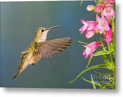 Female Broad-tailed Hummingbirds Metal Print by Anthony Mercieca