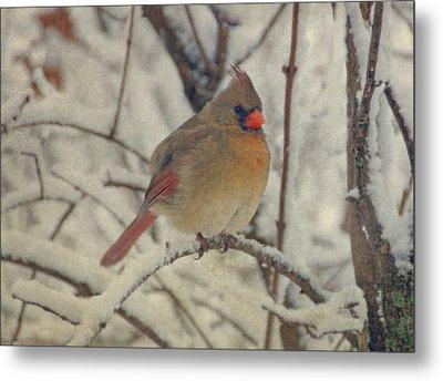 Female Cardinal In The Snow II Metal Print by Sandy Keeton