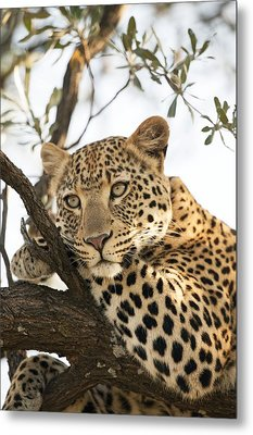 Female Leopard Resting In A Tree Metal Print by Science Photo Library