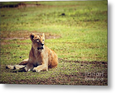 Female Lion Lying. Ngorongoro In Tanzania Metal Print by Michal Bednarek