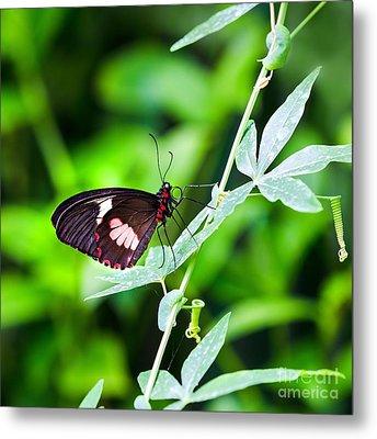 Female Pink Cattleheart Butterfly Metal Print by Jane Rix