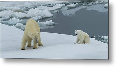 Female Polar Bear Ursus Maritimus Metal Print by Panoramic Images