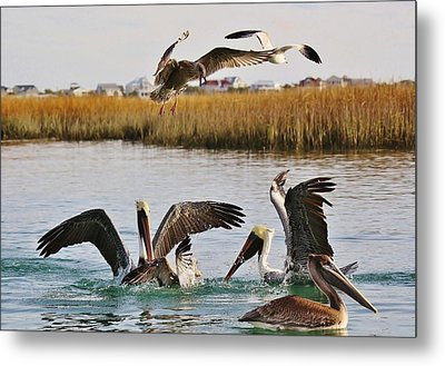 Fighting For A Fish Dinner Metal Print by Paulette Thomas