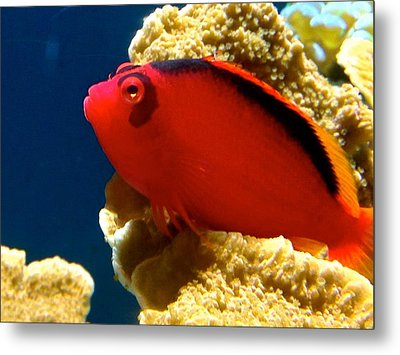 Fish Painted Red Metal Print by Danielle  Broussard