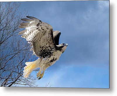 Flight Of The Red Tail Metal Print by Bill Wakeley
