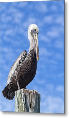 Florida Brown Pelican Metal Print by Kim Hojnacki