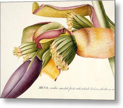 Flower Of The Banana Tree  Metal Print by Georg Dionysius Ehret