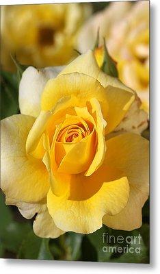 Flower-yellow Rose-delight Metal Print by Joy Watson