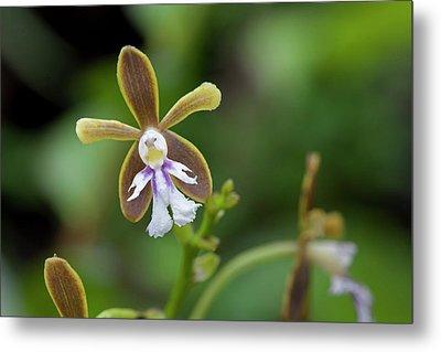 Flowering Orchid Oerstedella Exasperata Metal Print by Thomas Wiewandt