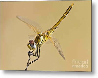 Fly Dragon Fly Metal Print by Heiko Koehrer-Wagner