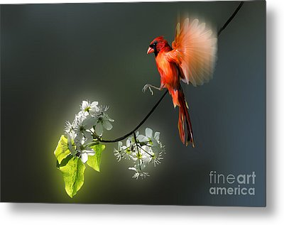 Flying Cardinal Landing On Branch Metal Print by Dan Friend