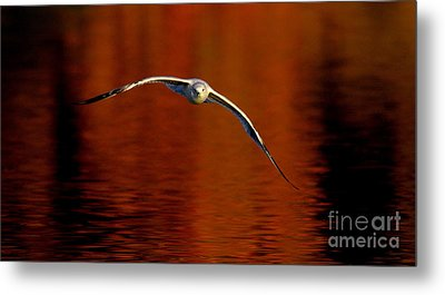 Flying Gull On Fall Color Metal Print by Robert Frederick