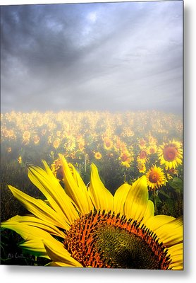 Foggy Field Of Sunflowers Metal Print by Bob Orsillo