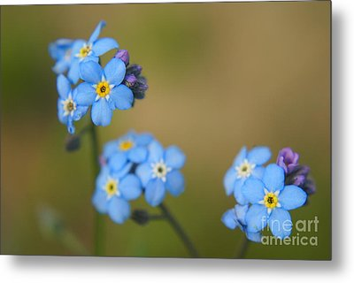 Forget Me Not 01 - S01r Metal Print by Variance Collections