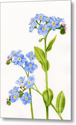Forget-me-nots On White Metal Print by Sharon Freeman