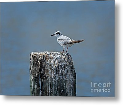 Forster's Tern Metal Print by Louise Heusinkveld