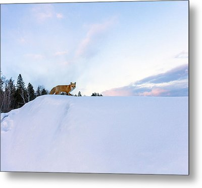 Fox Of The North IIi Metal Print by Mary Amerman