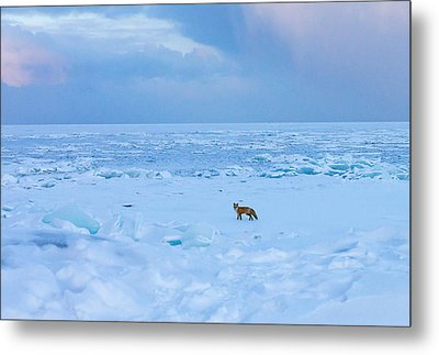 Fox Of The North Country Iv Metal Print by Mary Amerman