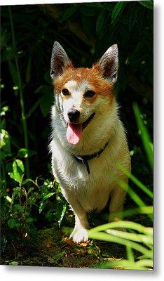 Parson Russell Terrier Metal Print by Aidan Moran