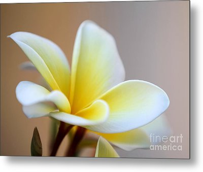 Fragrant Frangipani Flower Metal Print by Sabrina L Ryan