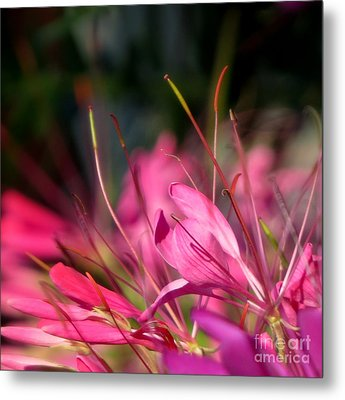 Free Spirit Cleome Metal Print by France Laliberte