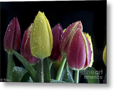 Fresh As A Tulip Metal Print by Tracy  Hall