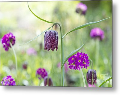 Fritillary And Primula  Metal Print by Tim Gainey