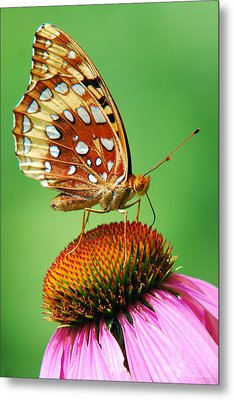 Fritillary Butterfly Metal Print by Christina Rollo